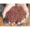 采购优质高粱Buy quality sorghum
