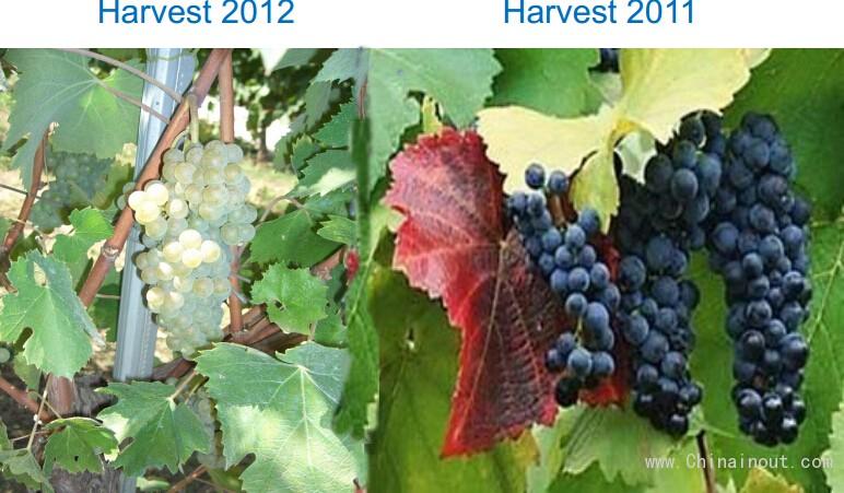 葡萄成熟 2