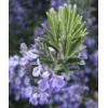 埃及迷迭香 herb