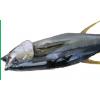 金枪鱼|去头和内脏 Headless&Gutted Tuna