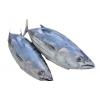 整条完整金枪鱼 whole tuna