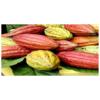 喀麦隆可可豆 cocoa