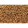 进口芫荽子供应 coriander seed