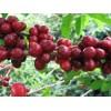 埃塞俄比亚进口阿拉比卡咖啡 Coffee Arabica