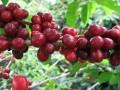 新华社:六成野生咖啡品种有灭绝风险,野生阿拉比卡咖啡属濒危物种