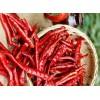 印度S17辣椒中国业务推广 Chilli