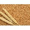 哈萨克斯坦进口优质专用小麦厂家供应 wheat