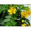 印度优质番泻叶产地厂家直供 senna leaves