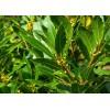 印度香叶月桂叶厂家直供  bay leaf
