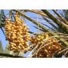 沙特阿拉伯进口椰枣干厂家直供 Date Palm