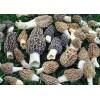 美国羊肚菌精品羊肚菌厂家供应 Wild Morchella