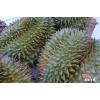 越南进口榴莲一手货源供应 Durian