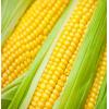 巴西/美国一等二等非转基因玉米供应 Corn